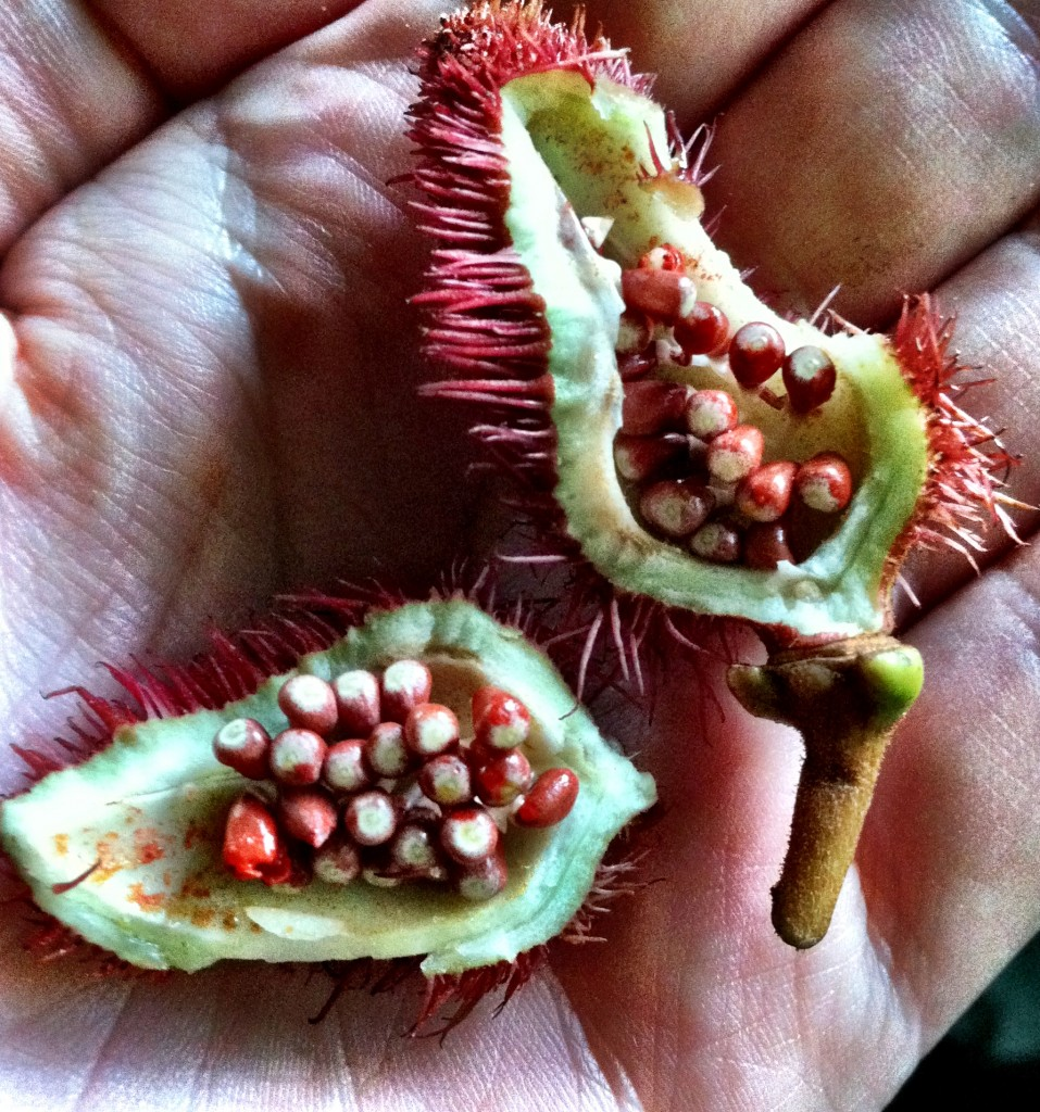 Annatto 957x1024 Amazon Jungle Beauty Secret: Lipstick Tree